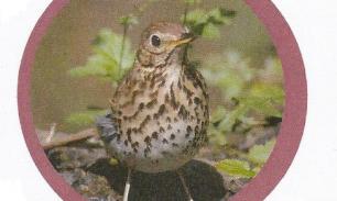 Song Thrush Bird Sponsors!